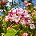 Korean Spice Viburnum! So fragrant!! @vandusengarden #TourismChallenge #ExploreBC #VisitVanDusen