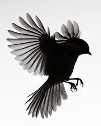 Chickadee-Silhouette-250x250