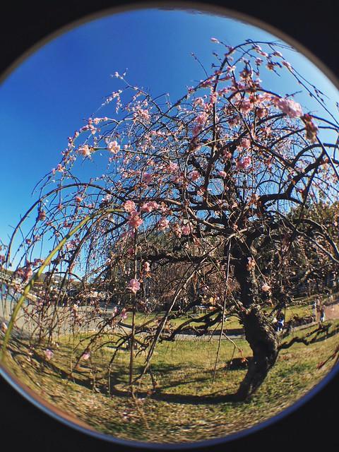 Found the weeping plum tree on the way home 🌸 #vscox #vscojapan #springinjapan #sakura #shidareume #しだれ梅 #岡山市 #fisheyeclip