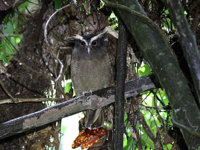 Crested Owl / Duc à aigrettes /  Lophostrix cristata
