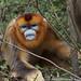 Golden Snub-nosed Monkey (Rhinopithecus roxellana) by cowyeow