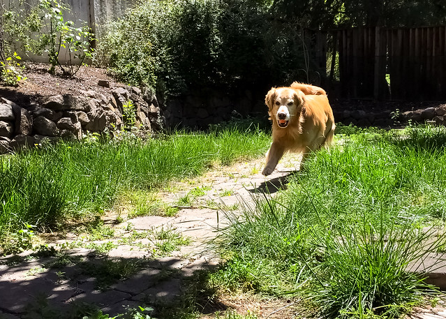 Fetching Golden