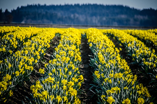 Skagit Daffodils-39