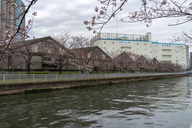 越中島の桜 2018