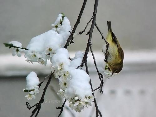 nature bird spring tree branch blossom snow flowers white sony rivanova риванова пролет природа птици клони сняг цветове цвят цветя птица дърво