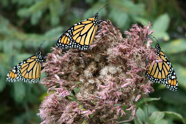 Three female monarch butterflies resting on a cup plant, two facing right and one facing left.