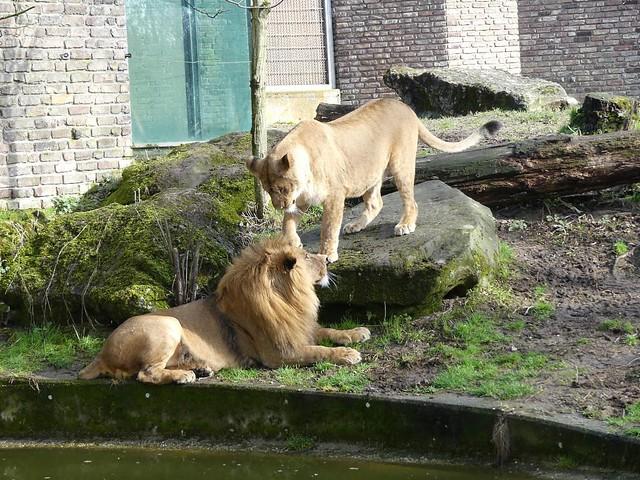 Löwen, Zoo Duisburg