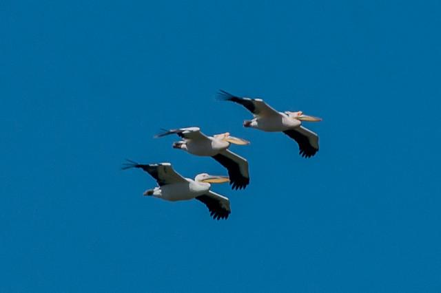Great white pelicans ( Pelecanus onocrotalus)