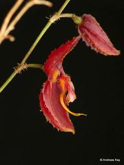 Lepanthes phrixothrix
