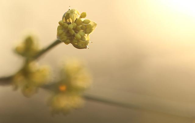 Gele Kornoelje - Cornus mas - Cornelian Cherry