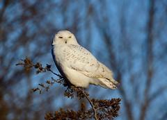 Evening Snowy Owl