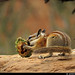 20160822_27 Chipmunk (Neotamias sp.?) gnawing on pine cone | Arches National Park, Utah