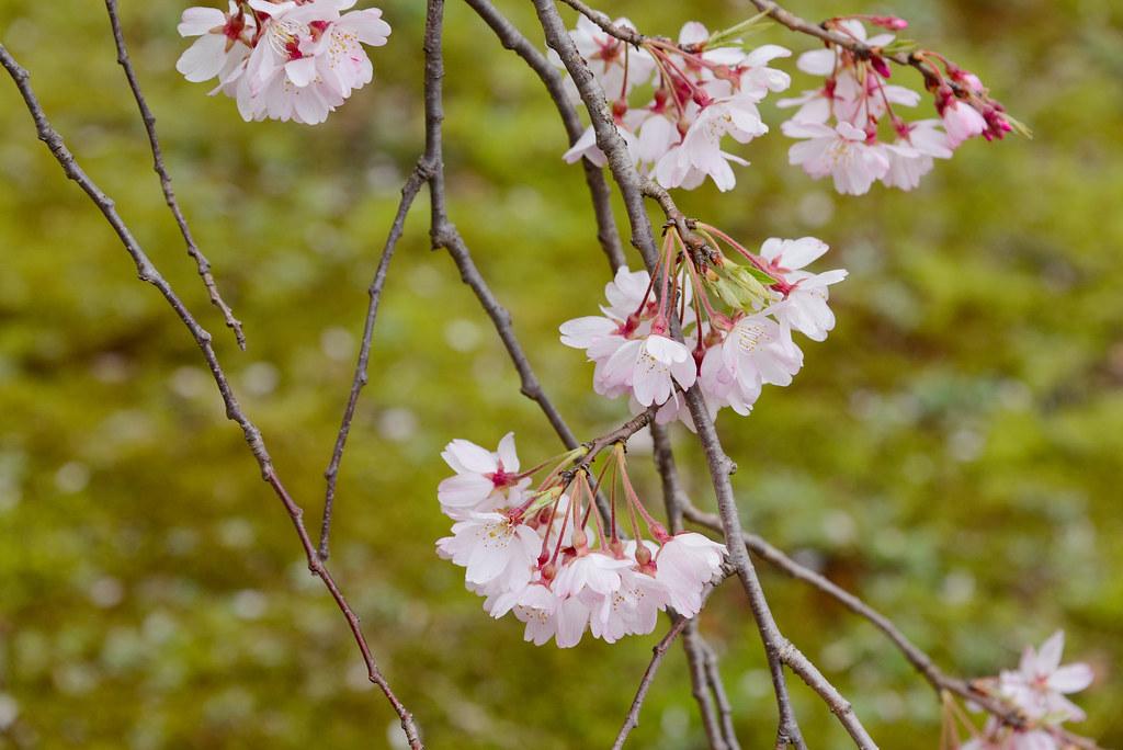 Cherry blossoms at Koishikawa Korakuen Garden 小石川後楽園のしだれ桜