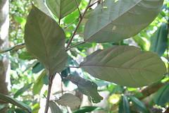 Heritiera longipetiolata leaf