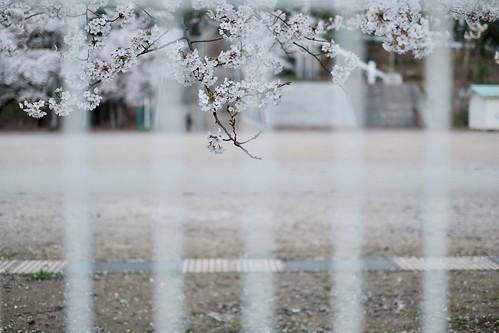 内野の桜 2018