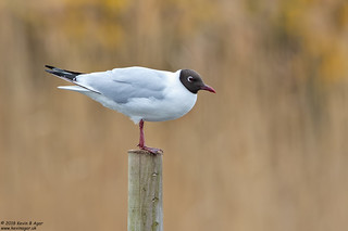 Black-headed Gull, Chroicocephalus ridibundus