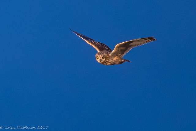 Short-eared Owl-6760.jpg, Canon EOS 7D MARK II, Canon EF 600mm f/4L IS