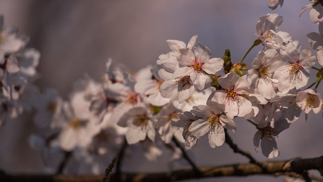 Photo:late afternoon sakura By l e o j