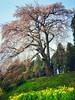 Photo:福島県郡山市西田町土棚「内出のサクラ」見頃始まってます。今朝、発達障害ASDで通所中のB型作業所通所前に撮影。同じく西田町三町目「山王桜」も咲き始め。根元の水芭蕉も見事に咲いてます。隣の「カタクリ草群生地」も、また直ぐ近くの三春町山田の「かたくりの里」も、カタクリの花の見頃始まりです。 #snapseed By Atsushi Boulder