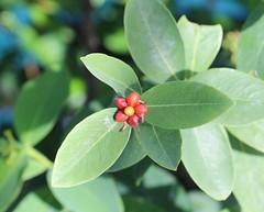 Wikstroemia elliptica leaves and fruit
