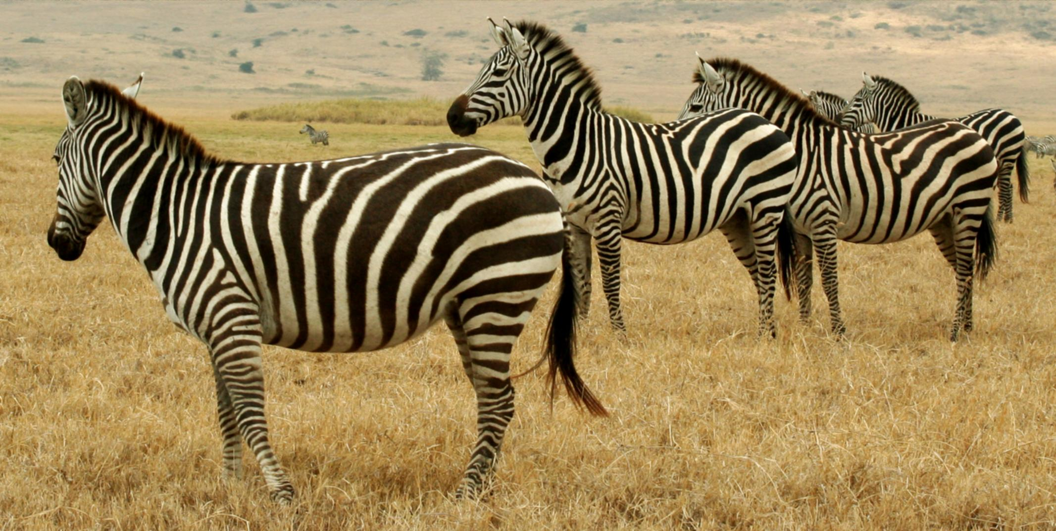 A line of zebras in Tanzania's Serengeti. Photo taken on September 11, 2005.