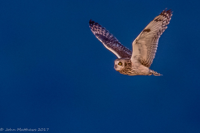 Short-eared Owl-6867.jpg, Canon EOS 7D MARK II, Canon EF 600mm f/4L IS