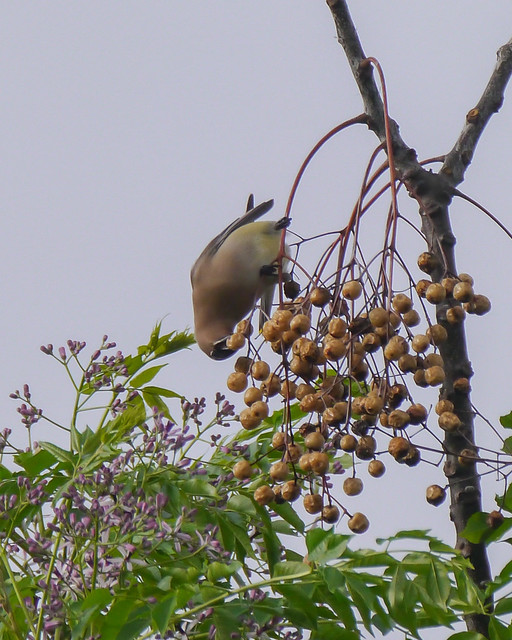Cedar Waxwing eating Chinaberries