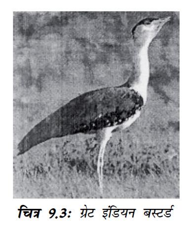चित्र 9.3 ग्रेट इंडियन बस्टर्ड