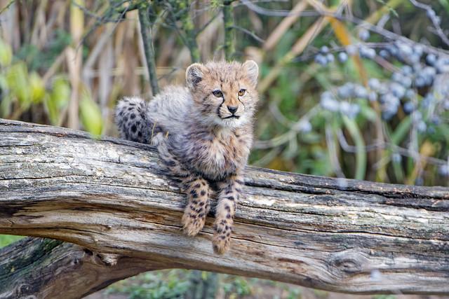 Cute cheetah cub on the log