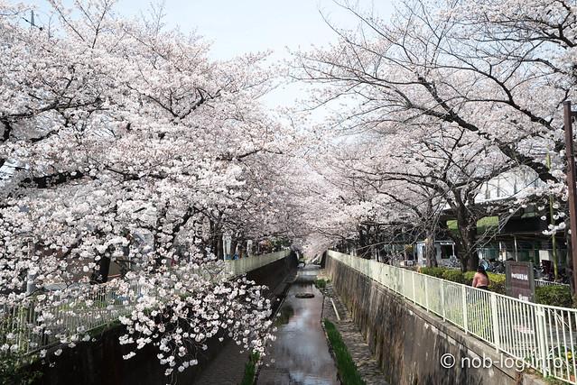 高井戸駅からスタートして神田川沿いの桜見てきました