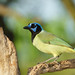 green jay by Uncle Tee TX