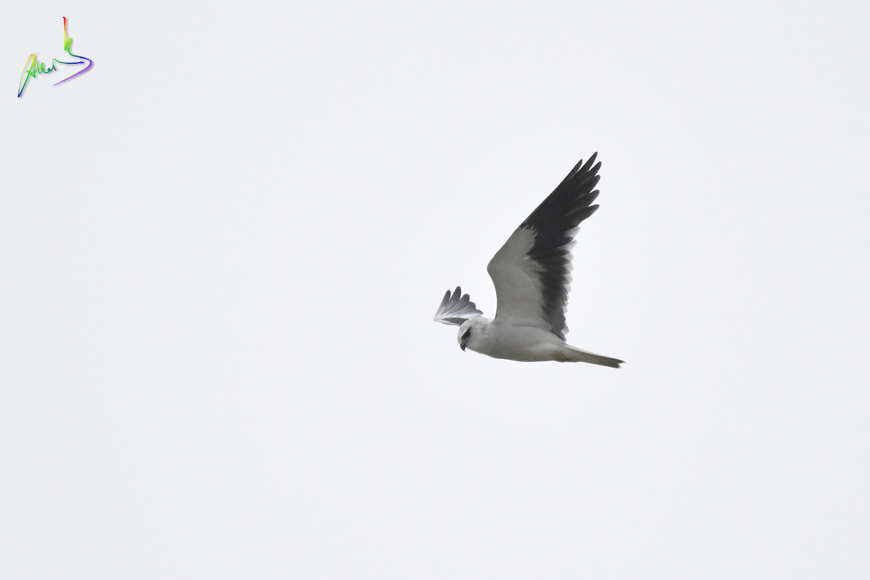 Black-winged_Kite_2418