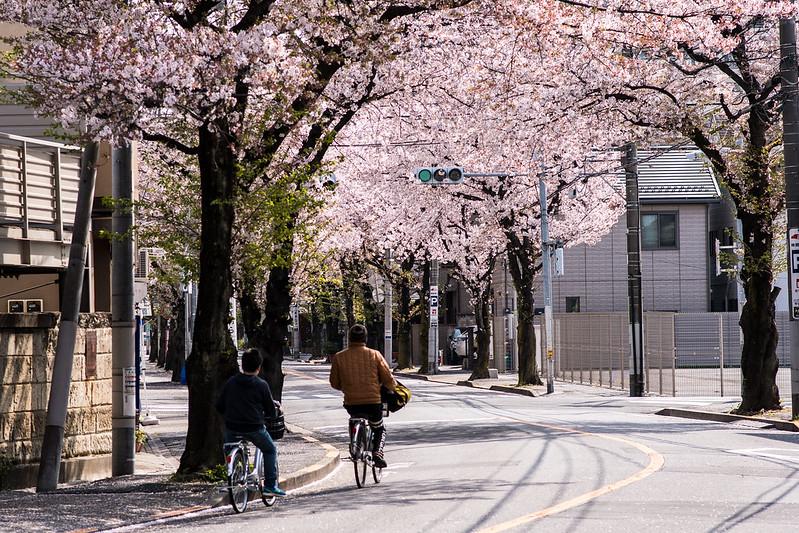 北千住・大踏切通りの桜並木2