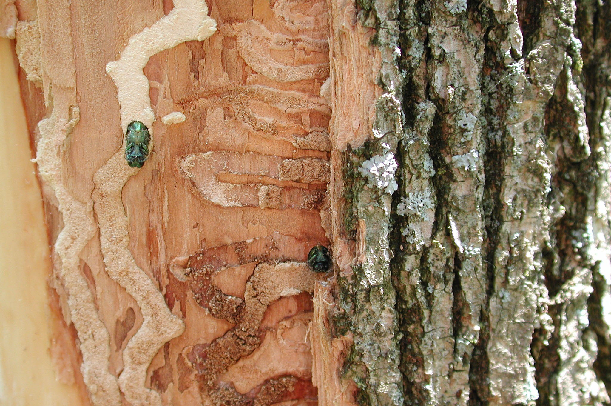 Emerald Ash Borer Study Continues in Meridian Township Parks