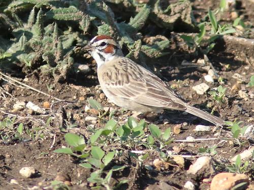 Lark Sparrow 03-20180516
