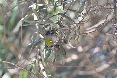 Silvereye  ( it looks a little hard )