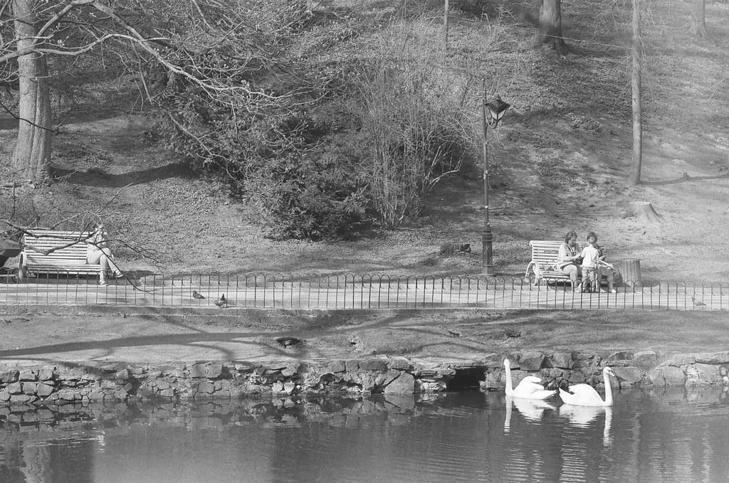 swans at Stryskiy park