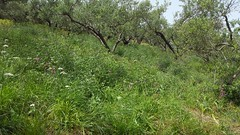 Wild flowers near Ano Vouves Crete