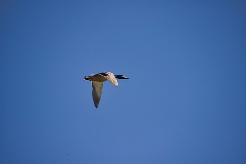 IMG_11862a_Duck_in_Flight