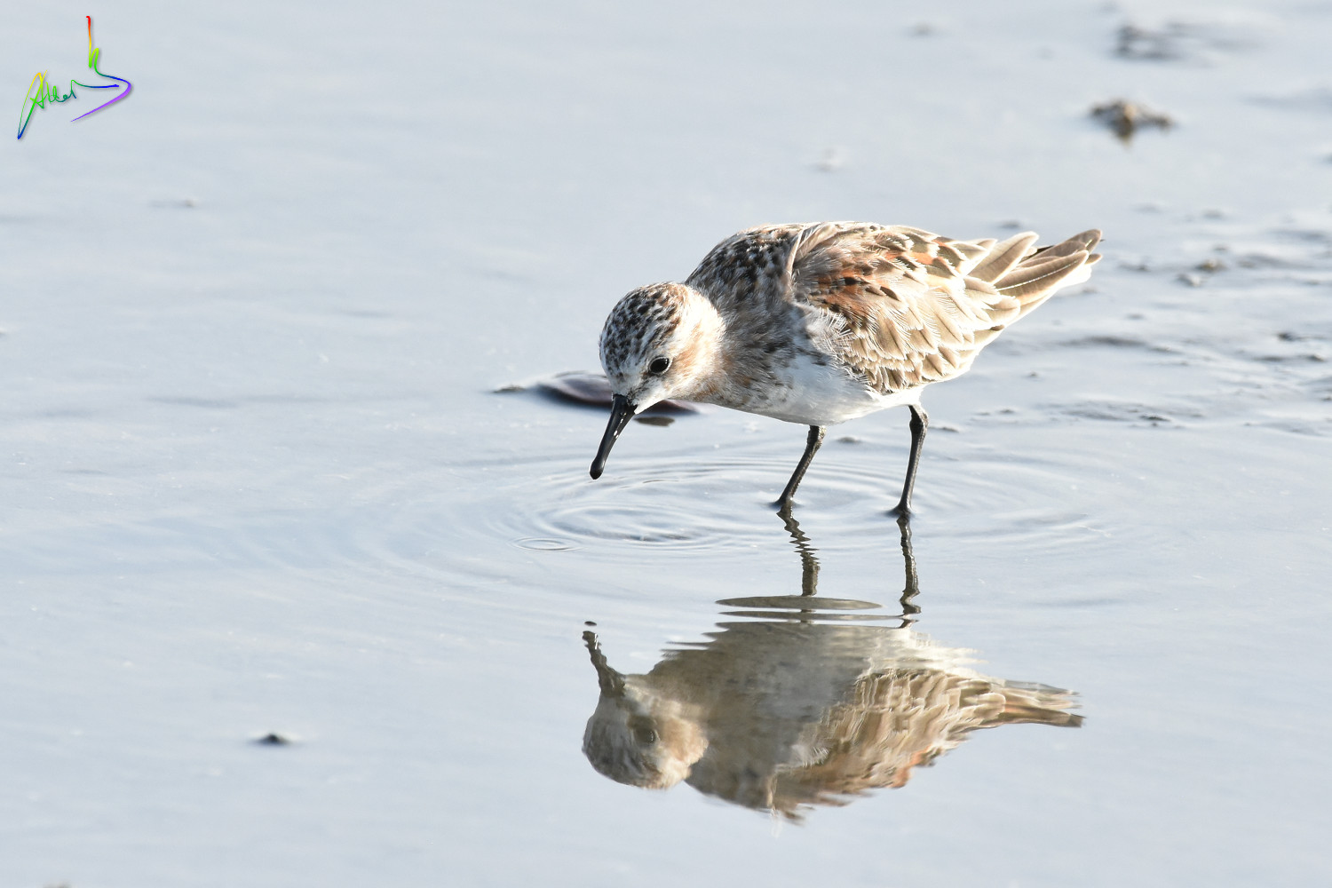Red-necked_Stint_1595