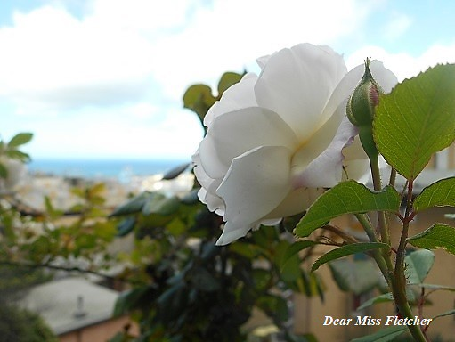 Rosa (8)