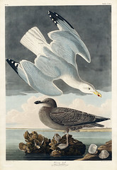 Herring Gull from Birds of America (1827) by John James Audubon (1785 - 1851), etched by Robert Havell (1793 - 1878). The original Birds of America is the most expensive printed book in the world and a truly awe-inspiring classic.