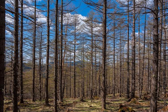 山頂直下のカラマツ林