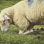 2017-09-05_11-09-09 - Schaf auf Knien - Fehmarn