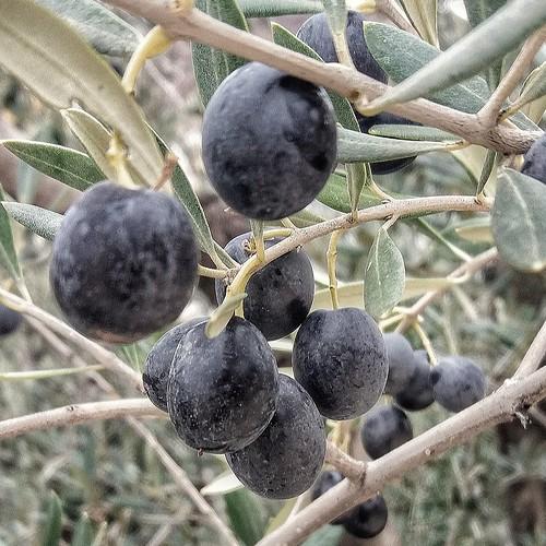 Aceitunas del país en Alboloduy - Almería.
