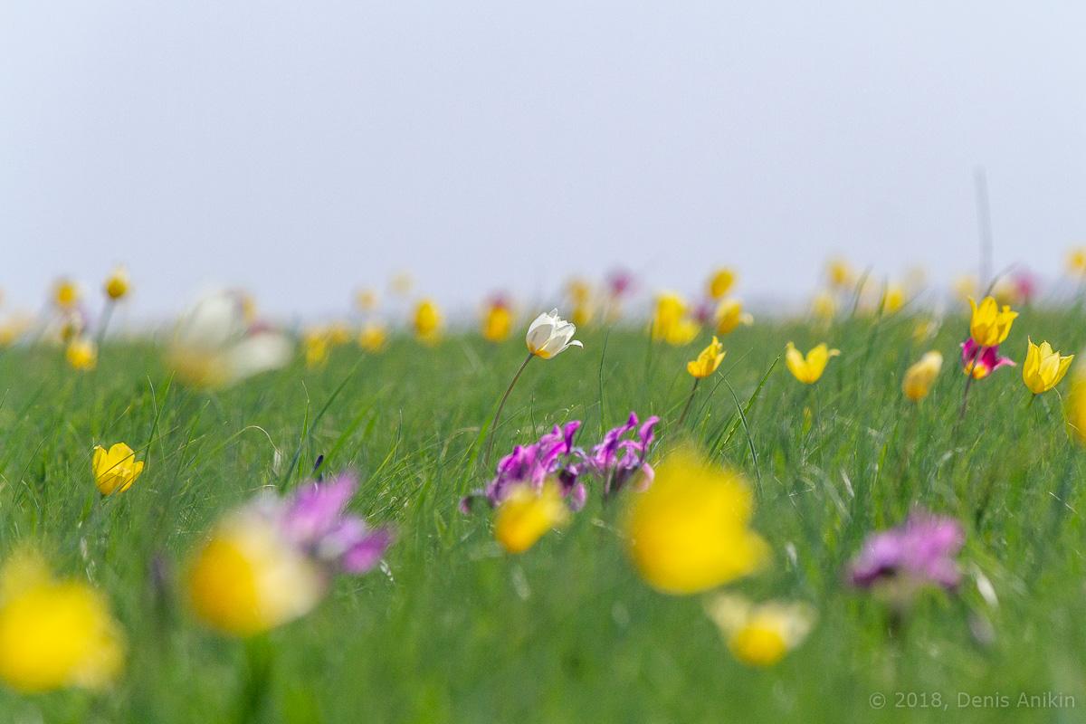 тюльпаны иваново поле фото 16