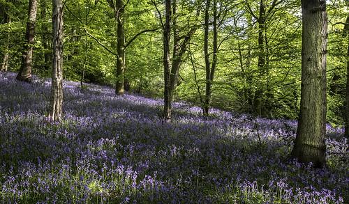 Bluebells, Scissett,West Yorkshire