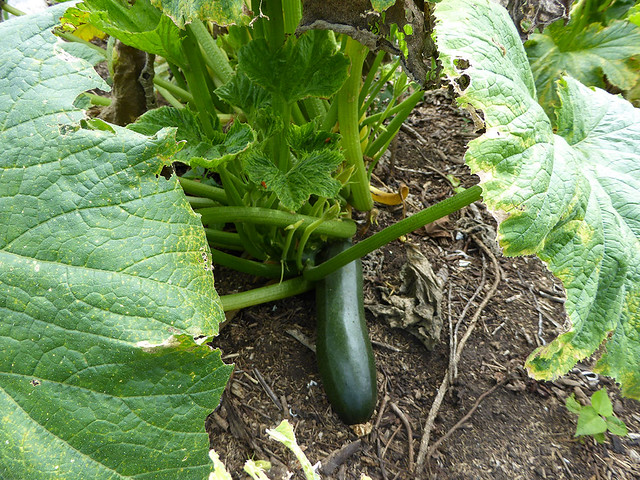 Zucchini growing at food security plantation on Tanna Island