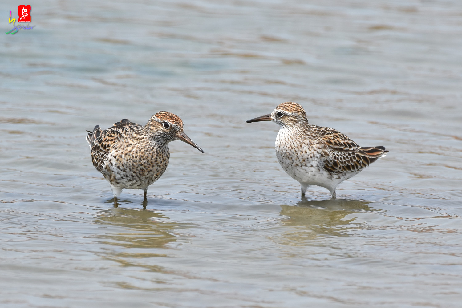Sharp-tailed_Sandpiper_3600