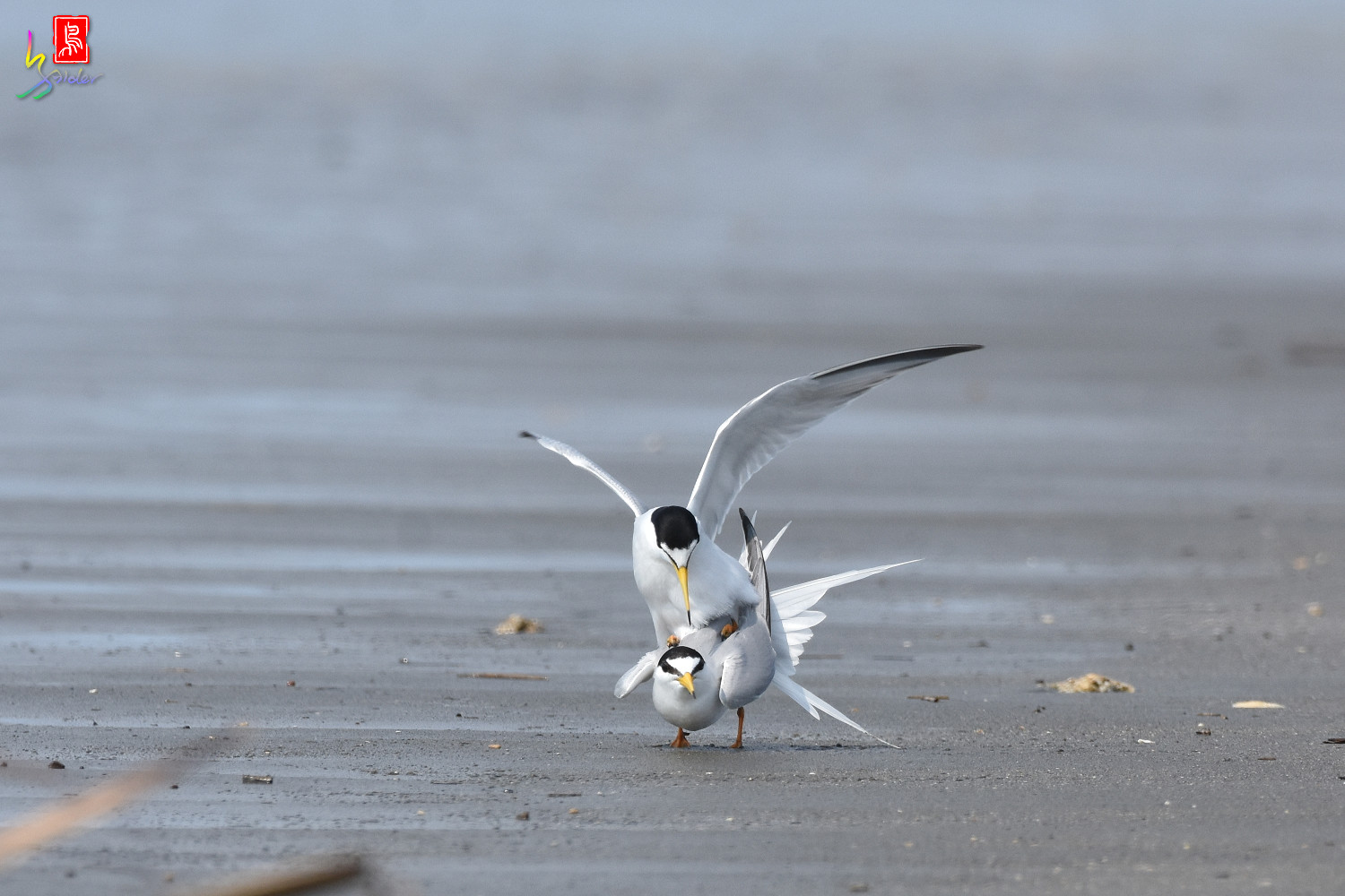 Little_Tern_4395